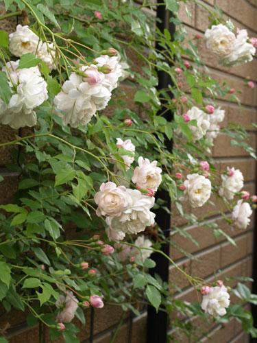 ボルチモア・ベル|バラの記憶 - 私の薔薇図鑑
